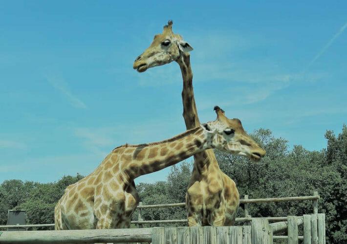 deux girafes représentant le langage CNV